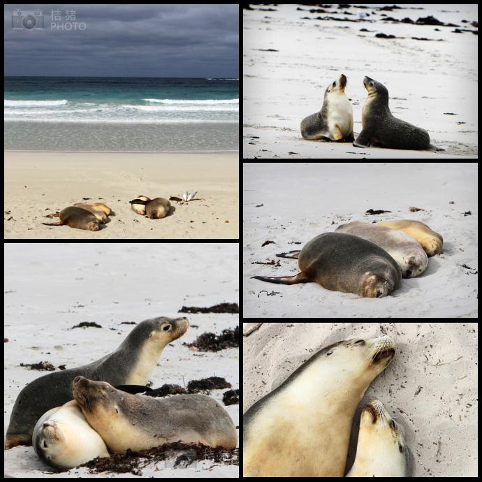 ↑ 刚走上海滩,就看见两只海狮在嬉戏。  ↑ 大部分海狮上岸后都要先美美的睡上一觉。草丛里比海滩上暖和吧。  ↑ 两个依偎着睡觉的海狮,真的很萌,特别想摸一摸,可惜....  ↑ 这个家伙睡在木栈道下面,看那小眼睛,图片放大看,睫毛特别长。  ↑ 海狮大多依偎着睡觉,我最初以为他们都有亲缘关系,才依偎在一起,但是导游说,其实大部分依偎在一起的海狮,只是为了取暖才那样做的。  ↑ 谁说海狮没表情。右边那个在卖萌,求虎摸,后面那个投去鄙视的眼神~你