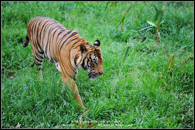 它和苏门答腊虎齐称为世界上体型最小的老虎