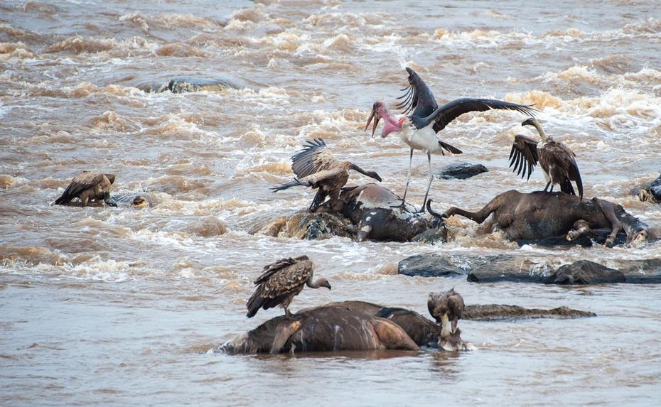 《狂野肯尼亚非洲之旅二》角马过河