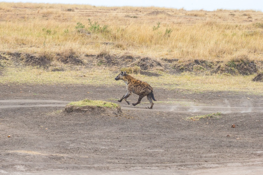 走进肯尼亚 马赛马拉游客过度影响动物正常迁徙 - H哥 - H哥的博客