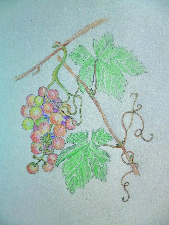 【彩铅手绘】迷人的秋日果实——山葡萄;;