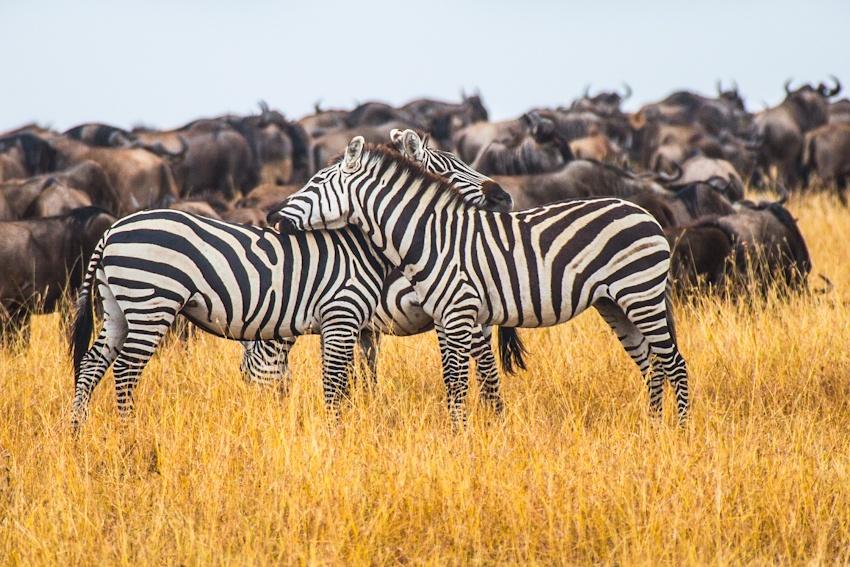 走进肯尼亚 面对面观赏动物大迁徙震撼场景