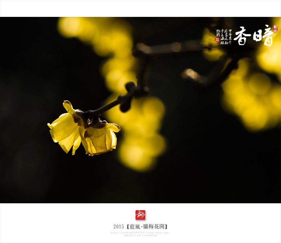【上海】腊梅花开 - 蓝风 - 蓝风的图像家园