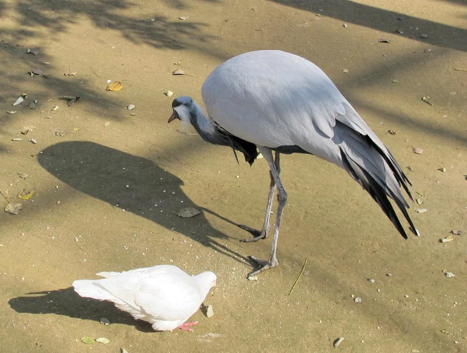 灰鹤鸟长的啥样