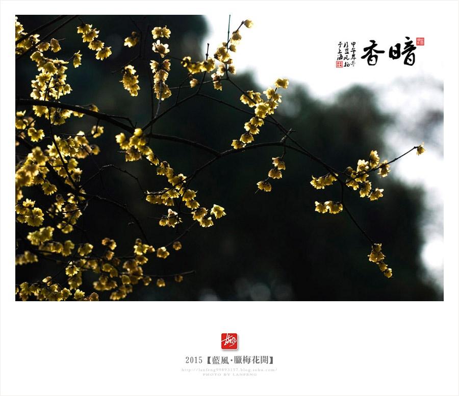 【上海】蜡梅花开,暗香浮动古猗园 - 蓝风 - 蓝风的图像家园