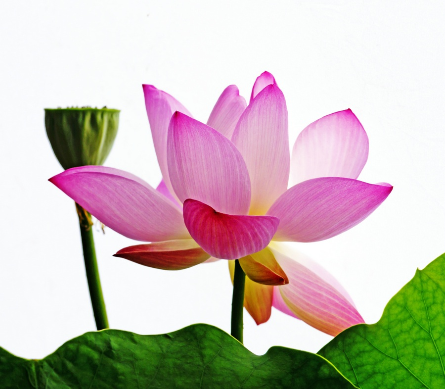 忆昔莲池六月中,绿叶清水捧芙蓉 - 侠义客 - 伊大成 的博客