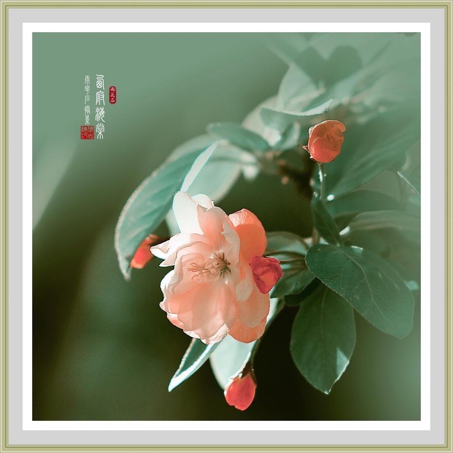 木瓜海棠和贴梗海棠