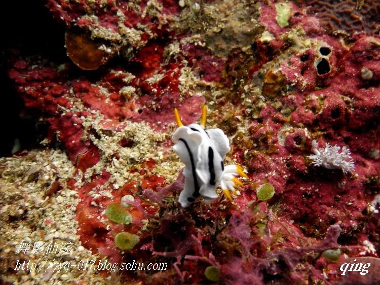 世界上最小的马-豆丁海马