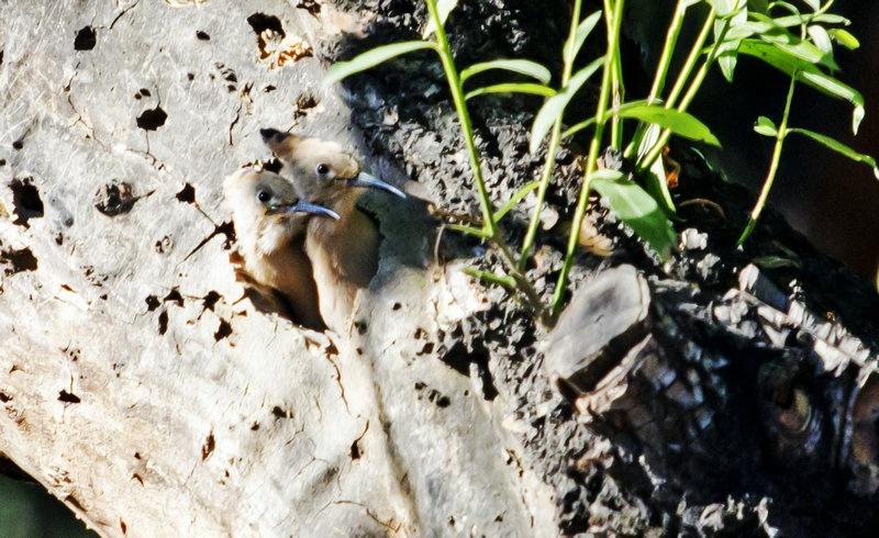 忆昔五月春水请,植物园里拍戴胜--之二出飞 - 侠义客 - 伊大成 的博客