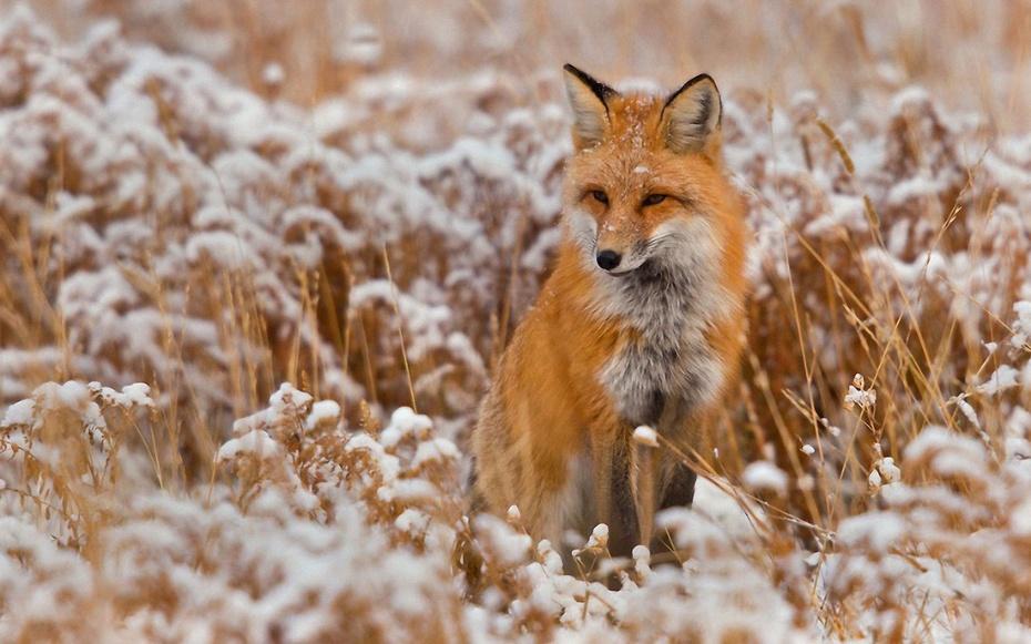 狐狸跳舞动物图片