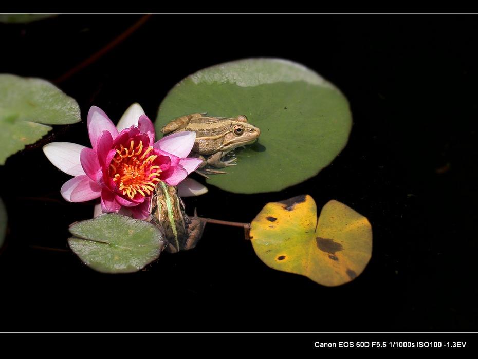 莲池蛙趣 - H哥 - H哥的博客