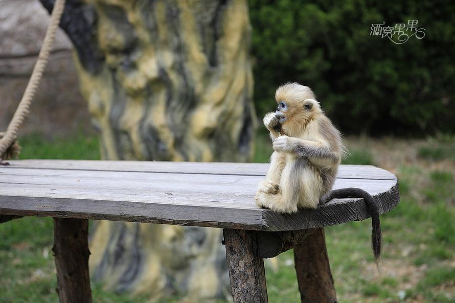 小熊猫(学名:Ailurus fulgens)又名红熊猫、红猫熊、小猫熊、九节狼等,是一种濒危的哺乳类动物,分布在中国南方到喜马拉雅山麓、不丹、印度、老挝、缅甸、尼泊尔等国。属于食肉目、浣熊科。小熊猫这一物种已生存了900多万年,它的祖先被称为古小熊猫。对于小熊猫的第六趾,曾有人认为用处相对不大。法国国家科研中心11日发布公报说,该研究中心的人类考古及地理生物学实验室专家与西班牙同行合作研究后认为,通过研究古小熊猫的化石,科学家发现它们是食肉动物。咱们的国宝这是怎么了? 胖是一种态度,肉是一种精神,球形也