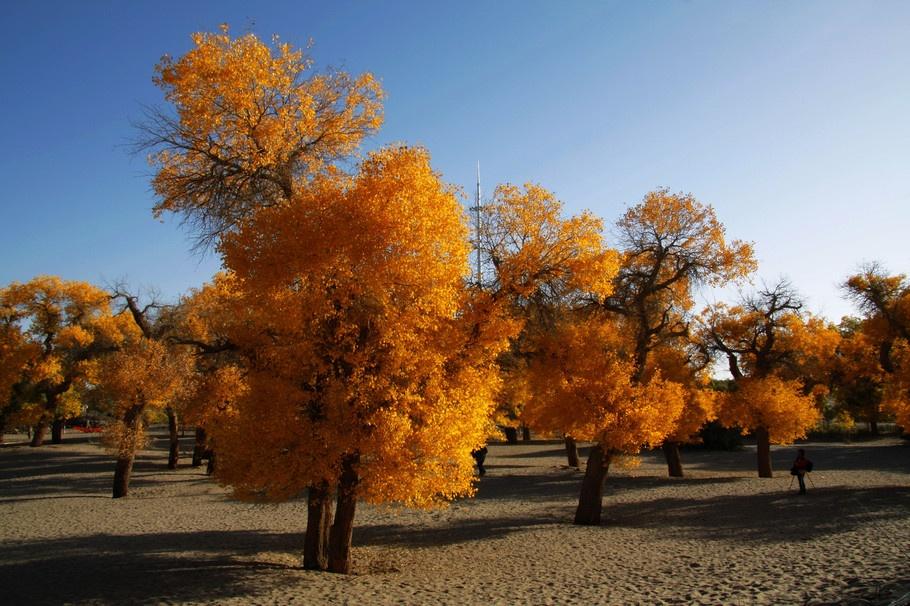 额济纳胡杨林:大漠中的神奇景观 - 余昌国 - 我的博客