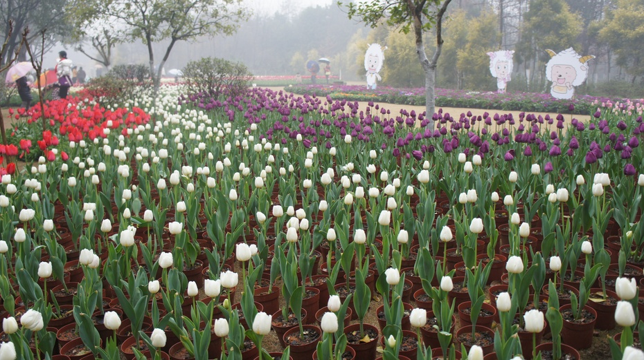 欣赏美丽郁金香,感受訾洲烟雨 - 余昌国 - 我的博客
