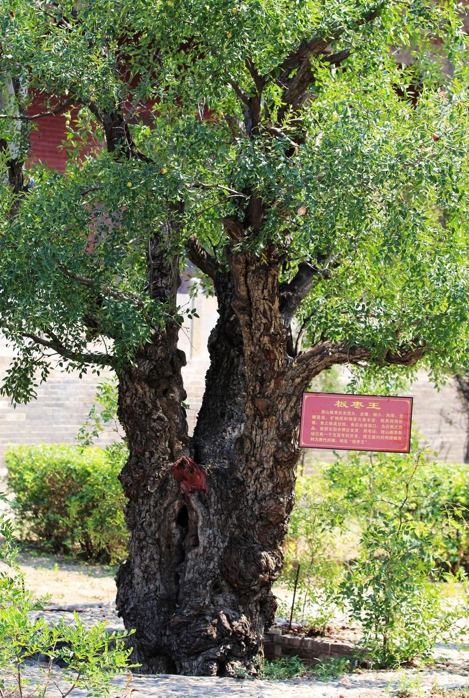 庙内还有一棵板枣树,据说是唐朝所植,历