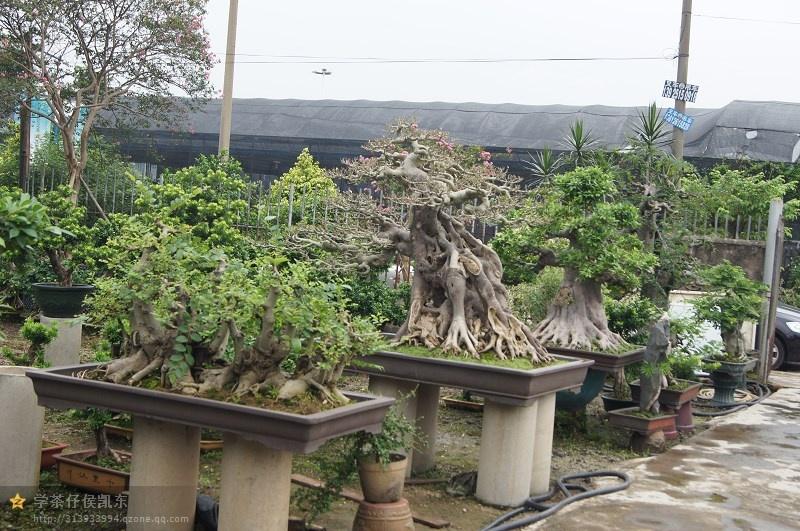 现园中拥有众多造型盆景:榕树,九里香,相思,榆树,朴树,福建茶