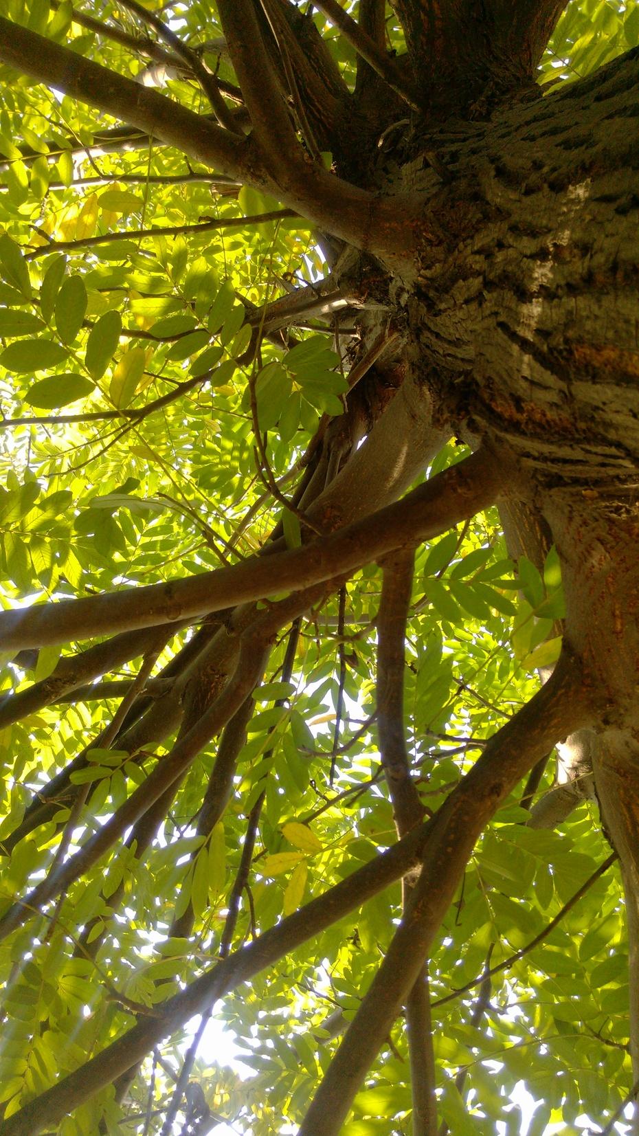 枫杨树树冠广展,枝叶茂密,生长快速,根系发达,为河床两岸低洼湿地的