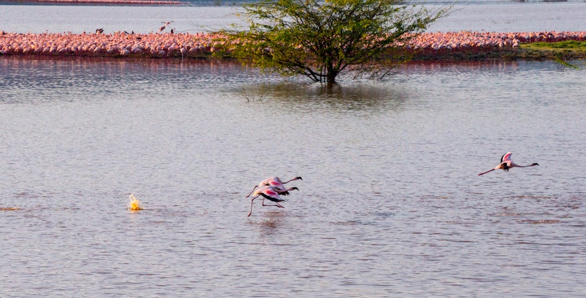 肯尼亚博格利亚湖 数百万火烈鸟在此翩翩起舞{五} - 国防绿 - ★☆★国防绿JL★☆★