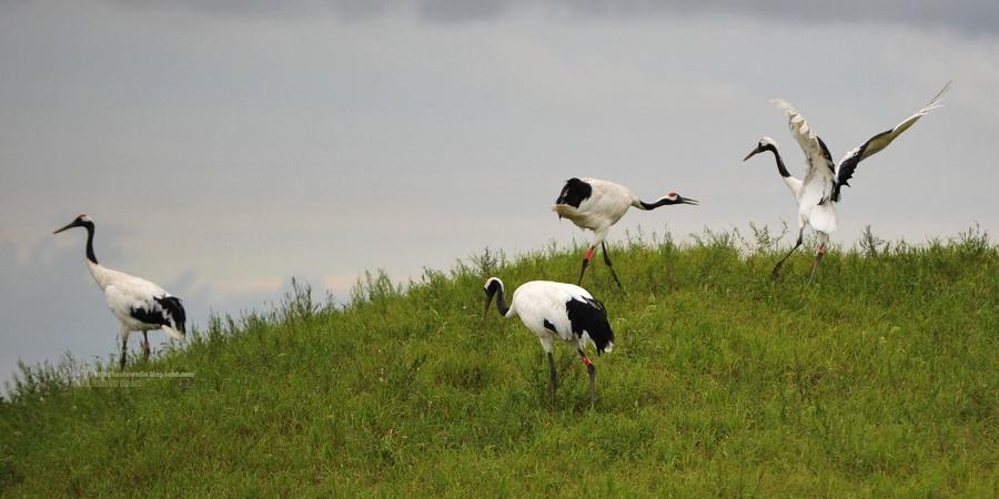 丹顶鹤的舞蹈是美的,美在这坡