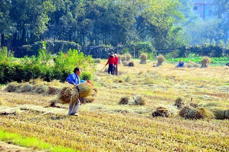 秋收后农村人开始挖这货, 过去不稀罕, 现在30多元一斤