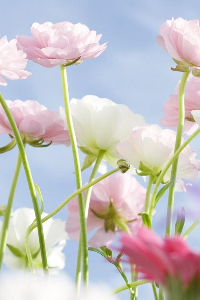 象一朵一朵盛放的可爱花朵.花瓣精致漂亮,粉红色.迷人的香味.