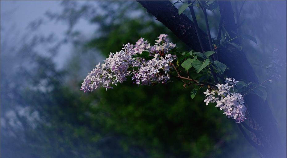 同属的还有白花丁香,红花丁香,紫花丁香, 荷花丁香,小叶丁香,花叶
