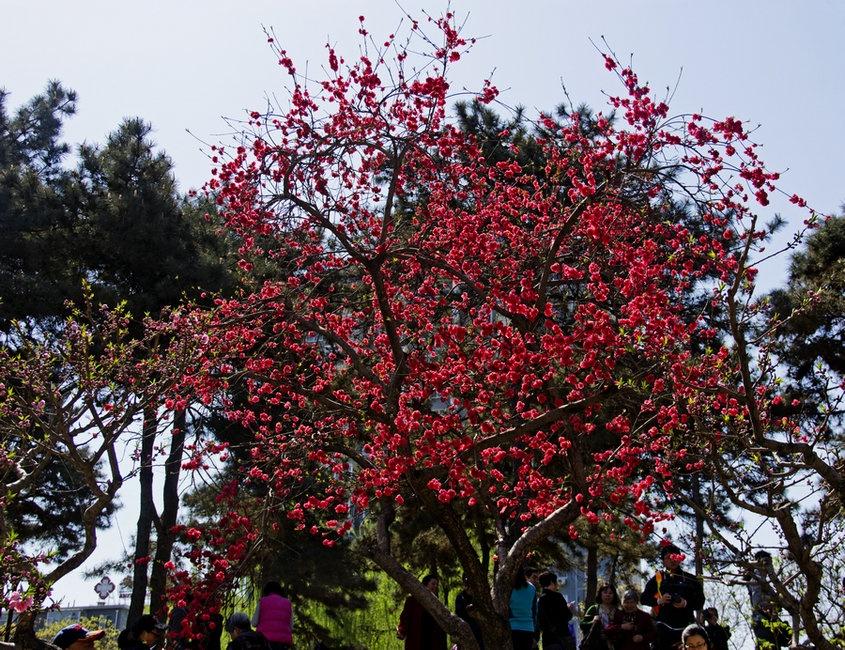 清明时节天气晴,海棠花溪花事浓 - 侠义客 - 伊大成 的博客