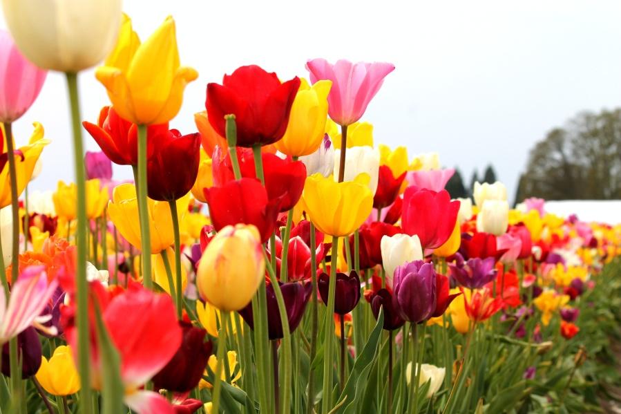 美国行之四十二—俄勒冈州最大的郁金香庄园 - 余昌国 - 我的博客