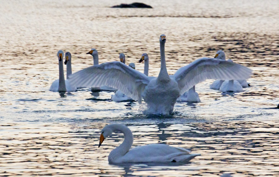 看朝阳染红海角,望天鹅伴霞光齐飞 -白天鹅拍摄之二 - 侠义客 - 伊大成 的博客
