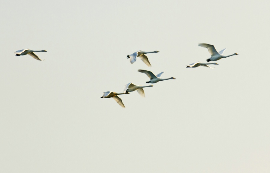 送天鹅展翅千万里,烟墩角暮色静幽幽-白天鹅拍摄之四 - 侠义客 - 伊大成 的博客