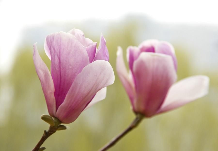 白玉兰冰肌玉骨,紫玉兰胭脂红妆 - 侠义客 - 伊大成 的博客