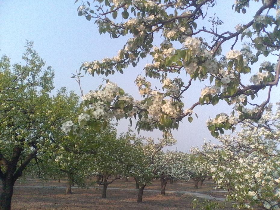 梨花朵朵笑春风(原创散文) - 泉水叮咚 - 泉水叮咚