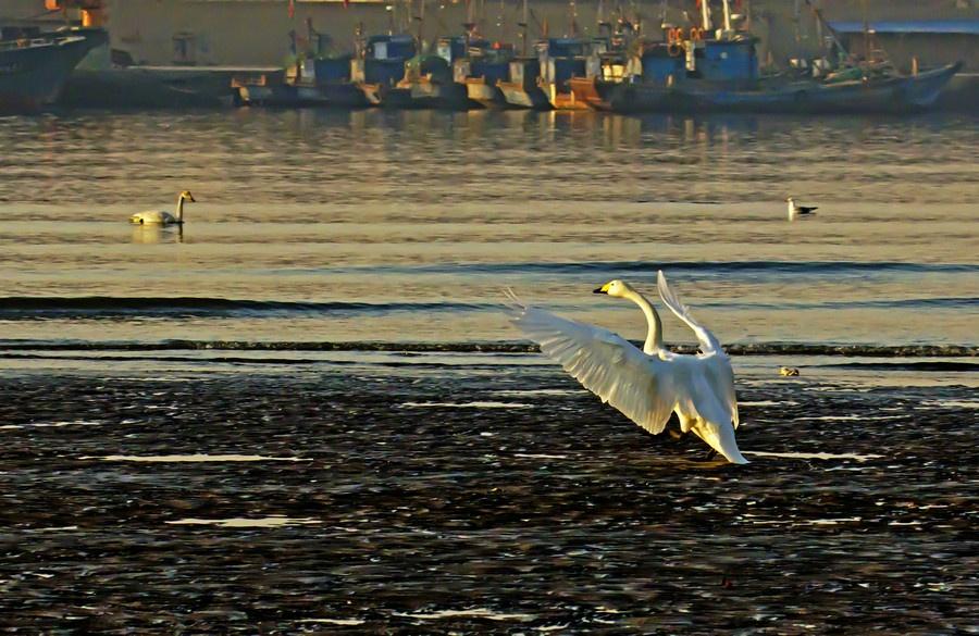 天鹅与白云蓝天齐飞,海鸥伴阳光沙滩共舞-白天鹅拍摄之三 - 侠义客 - 伊大成 的博客