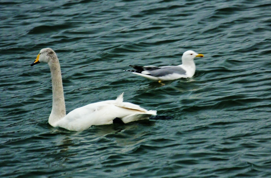 再到烟墩角,又见白天鹅 --白天鹅拍摄之一 - 侠义客 - 伊大成 的博客