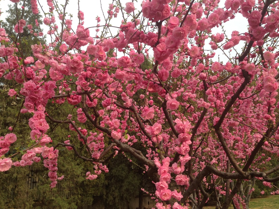 四月北京春花烂漫 - 余昌国 - 我的博客