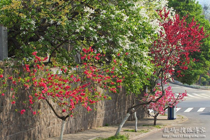 1青岛八大关位于美丽的汇泉湾畔,是最能体现青岛红瓦绿树、碧海蓝天特点的风景区。每年四月份开始,景区里的鲜花就次第开放,先是中山公园的樱花,再是韶关路上的桃花,然后宁武关路上的海棠会在一个阳光明媚的早晨绚烂绽放,于是就有了在八大关可以看花辨时,闻香识路的说法。