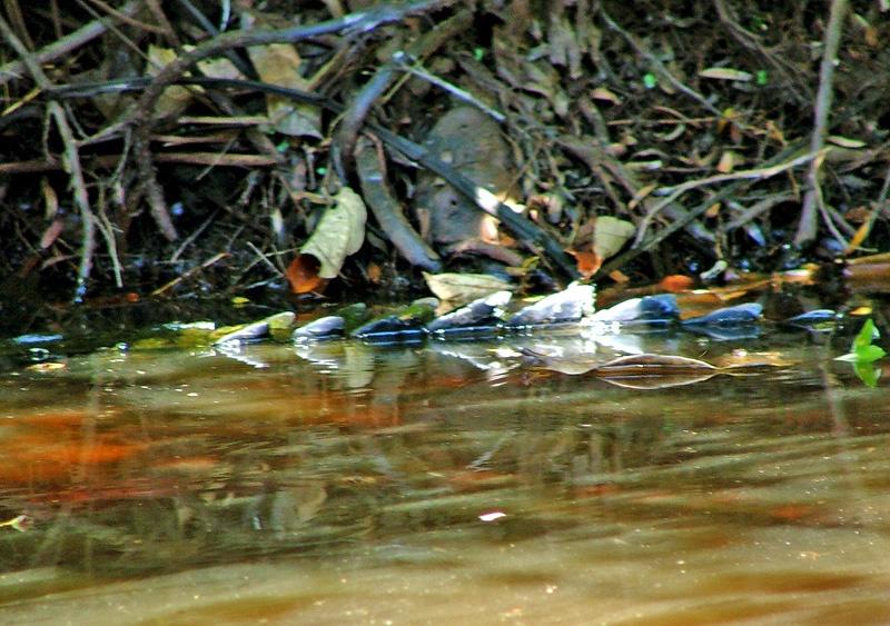 神秘的亚马逊河热带雨林探险(二)危机四伏的密林湖泊游 - sihaiyunyou - sihaiyunyou的博客