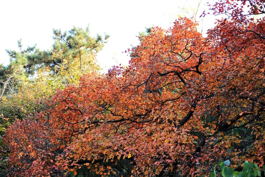 此时的西山森林公园远远望去已是半坡红叶披在山,最主要的是这里