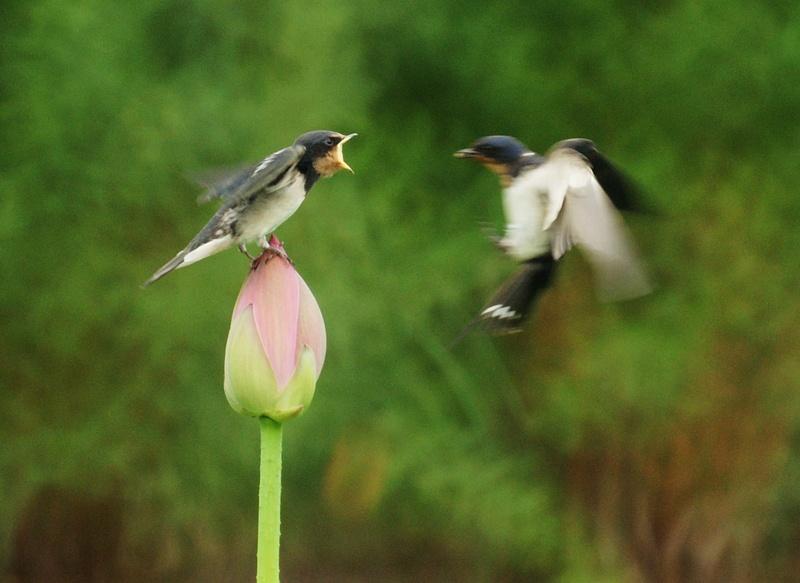 圆明园荷塘里的小燕子