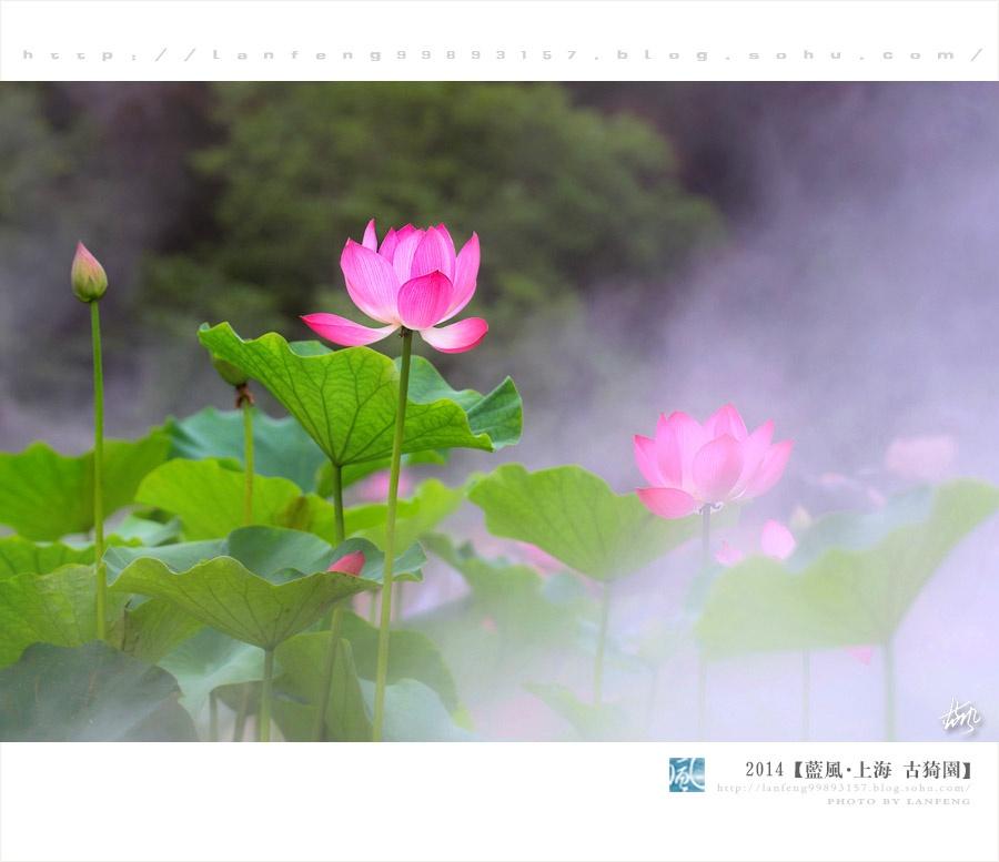 """【上海】荷塘""""阅""""色,雾里看花 - 蓝风 - 蓝风的图像家园"""