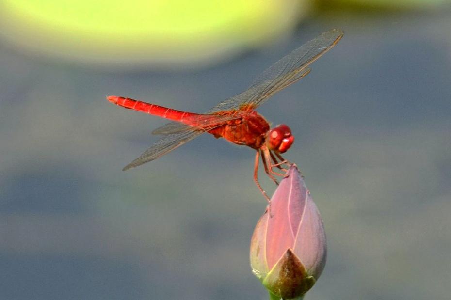 P1 摄影习作(2014163)拍摄的蜻蜓(3) 蜻蜓是无脊椎动物,昆虫纲,蜻蜓目,节肢动物门。一般体型较大,翅长而窄,膜质,网状翅脉极为清晰。视觉极为灵敏,单眼3个;触角1对,细而较短;咀嚼式口器。腹部细长、扁形或呈圆筒形,末端有肛附器。足细而弱,上有钩刺,可在空中飞行时捕捉害虫。成虫除能大量捕食蚊、蝇外,有的还能捕食蝶、蛾、蜂等害虫,实为益虫。蜻蜓的已知种类超过5000种。 荷花与蜻蜓是夏日的象征,南宋诗人杨万里的诗句小荷才露尖尖角,早有蜻蜓立上头更是脍炙人口。 拍摄时间:2014年6月26日、28