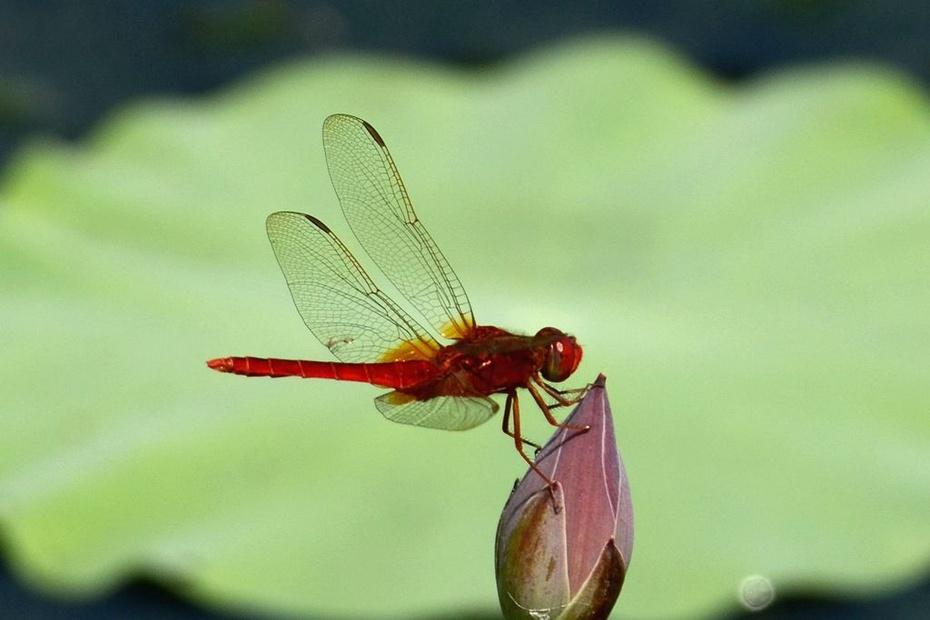 P1 摄影习作(2014164)拍摄的蜻蜓(4) 蜻蜓是无脊椎动物,昆虫纲,蜻蜓目,节肢动物门。一般体型较大,翅长而窄,膜质,网状翅脉极为清晰。视觉极为灵敏,单眼3个;触角1对,细而较短;咀嚼式口器。腹部细长、扁形或呈圆筒形,末端有肛附器。足细而弱,上有钩刺,可在空中飞行时捕捉害虫。成虫除能大量捕食蚊、蝇外,有的还能捕食蝶、蛾、蜂等害虫,实为益虫。蜻蜓的已知种类超过5000种。 荷花与蜻蜓是夏日的象征,南宋诗人杨万里的诗句小荷才露尖尖角,早有蜻蜓立上头更是脍炙人口。 拍摄时间:2014年6月28日。 拍