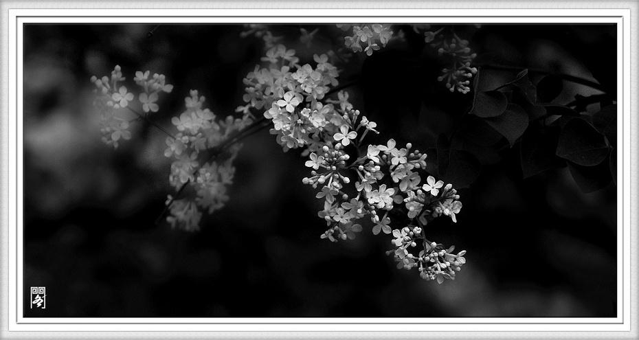 丁香阁子(二十三)白丁香大奶花房五月图片
