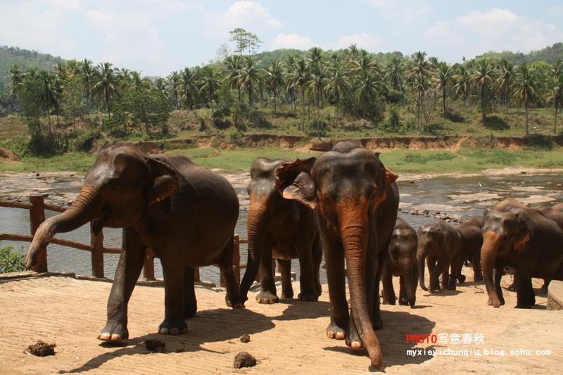 历史上,斯里兰卡是一个盛产大象的国家。人们对于大象的喜爱不仅见诸于许多文物古迹,而且也表现在今天的许多艺术和工艺品中,可以说憨厚可爱的大象形象在斯里兰卡无处不在。然而,很长一段时间以来,由于人们对森林的乱砍乱伐,加之猎杀大象的情况时有发生,大象的生存环境在不断恶化,全国的大象数量也在锐减,设立大象孤儿院便是国家保护大象的一项重要措施。