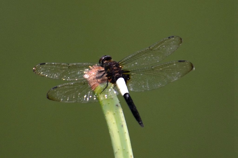 蜻蜓是无脊椎动物,昆虫纲,蜻蜓目,节肢动物门.