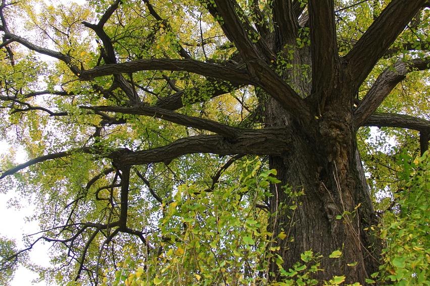 寻访千年银杏树