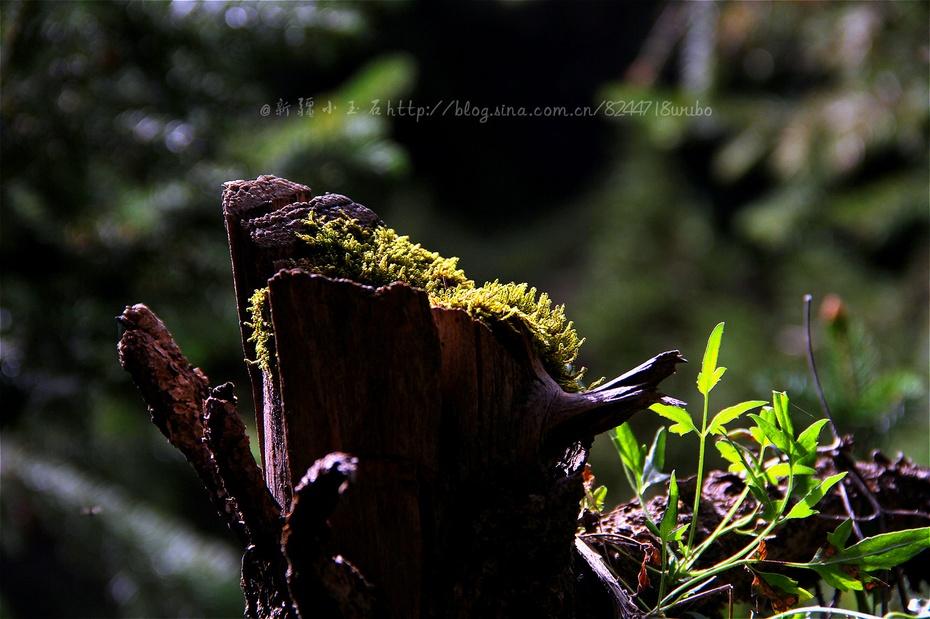 冬季昆仑山脚下妩媚的格桑花 - 国防绿 - ★☆★国防绿JL★☆★