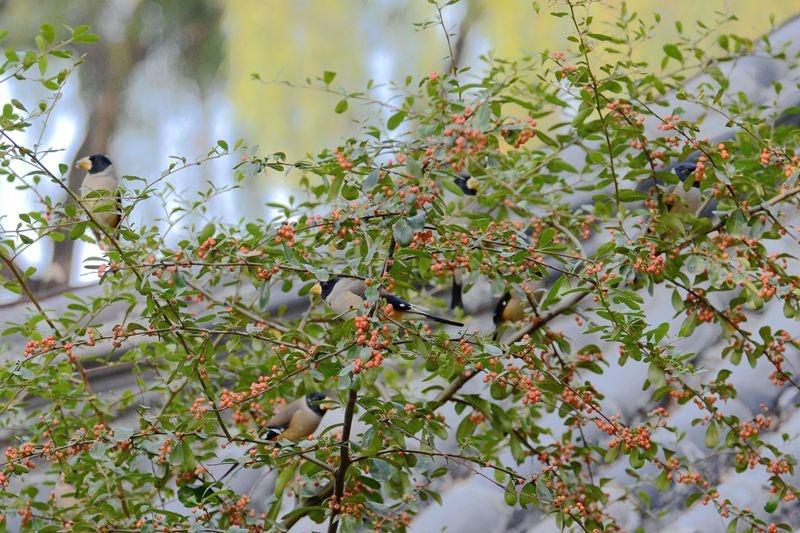 摄影习作(136)——红豆树上的腊嘴鸟