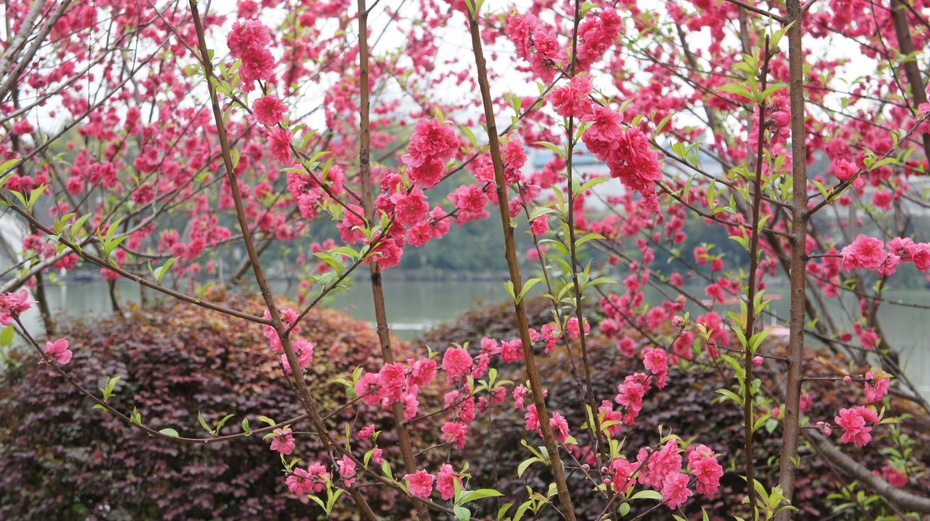 实拍桂林榕湖鲜丽桃花 - 余昌国 - 我的博客