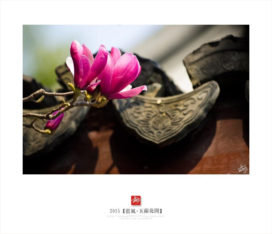 【上海】玉兰花开满城香 - 蓝风 - 蓝风的图像家园